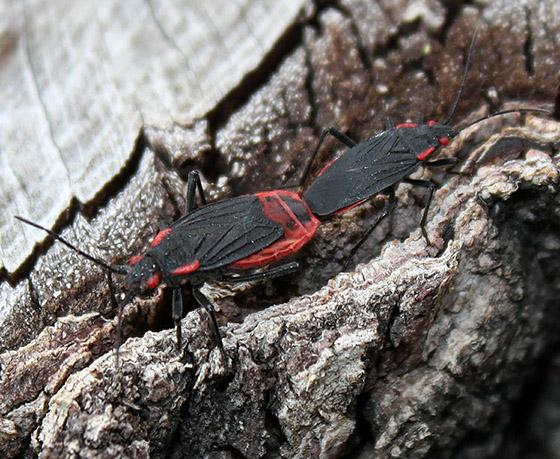 Red Shouldered Bugs  - Jadera haematoloma - male - female