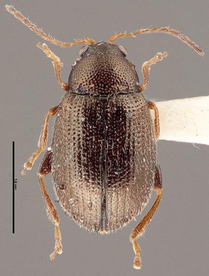 Epitrix subcrinita - female