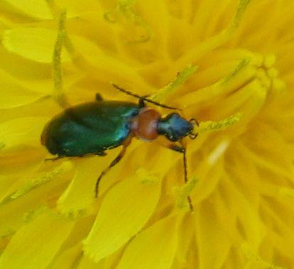 orange-tipped green beetle - Lebia viridipennis