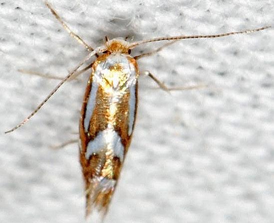 moth - Phyllonorycter propinquinella - female