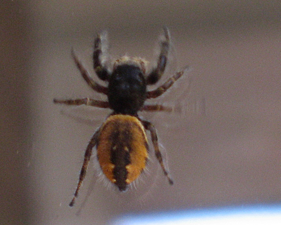 hairy, black and orange spider - Phidippus