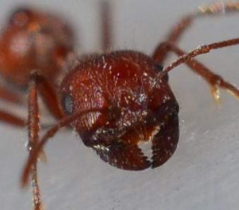 Red Harvester Ant - Pogonomyrmex occidentalis - female
