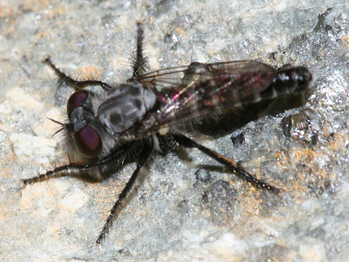 small Robber Fly - Cyrtopogon sudator - female