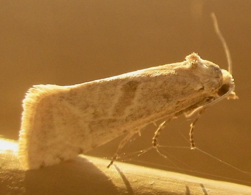 Moth B 12.26.17 - Eugnosta