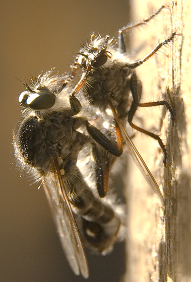 Mating Robber flies, which kind? - Efferia aestuans - male - female