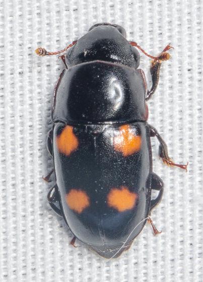 20150706-DSC_1496 - Glischrochilus obtusus