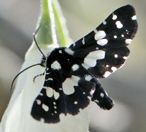 Mournful Thyris Moth – Thyris sepulchralis - Hodges #6077 - Thyris sepulchralis