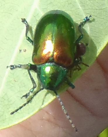 Dogbane Beetle in prairie - Chrysochus auratus