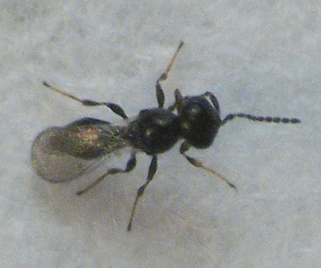 Another parasitic wasp in goldenrod gall - Platygaster
