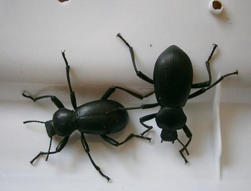 Coelocnemis sp. - Coelocnemis californica - male - female