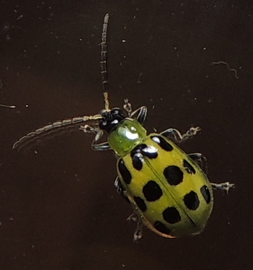 Diabrotica undecimpunctata - Spotted Cucumber Beetle for March in LA - Diabrotica undecimpunctata