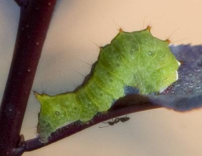 UID CATERPILLAR - Acronicta clarescens