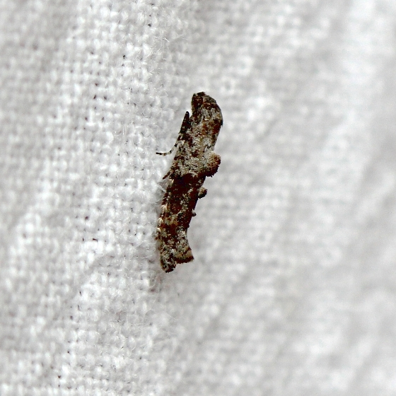 Epermenia albapunctella?