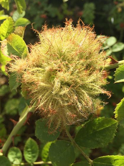Diplolepis rosae - Robin's pincushion