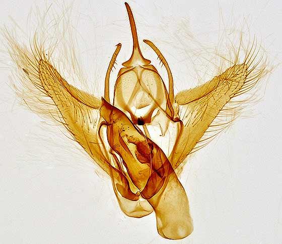 genitalia - Tacparia detersata - male