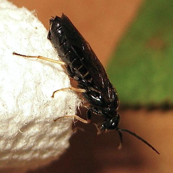 Adult - Cladius difformis - female
