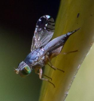 Speckle-winged fly ID request - Trupanea jonesi