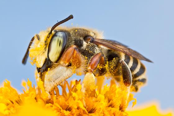 bee - Megachile albitarsis