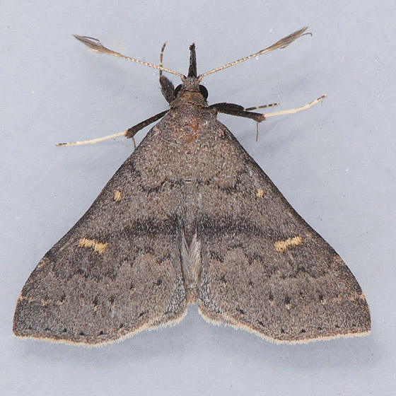 8386 Speckled Renia  - Renia adspergillus - male