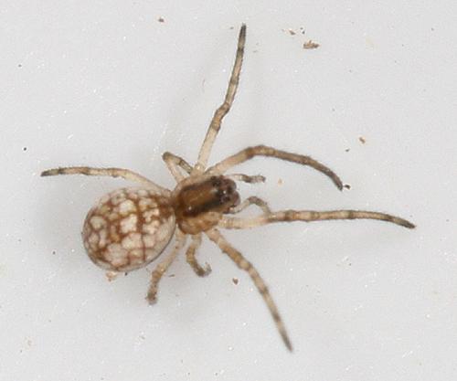 young spider - Tetragnatha