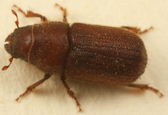 bark beetle - Dendroctonus valens