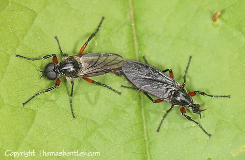 March Flies - Bibio femoratus - male - female