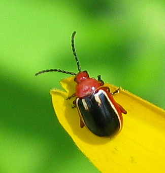 black and red Flea Beetle - Disonycha leptolineata