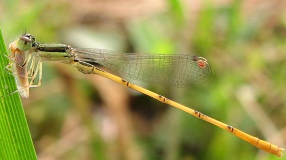Citrine Forktail - Ischnura hastata - male