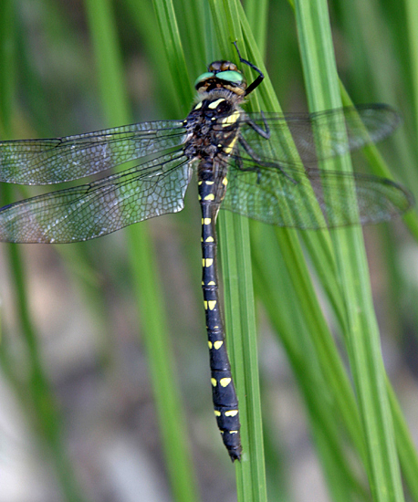 Twin-spotted Spiketail - Cordulegaster maculata - male