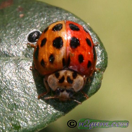 Bi-colored Multicolored Asian Lady Beetle - Harmonia axyridis