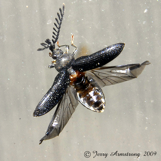 Beetle 03.28.2009 018 - Cerophytum pulsator - male