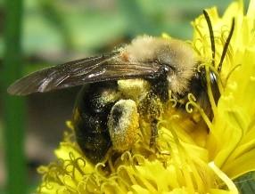 Bee on Dandelion - Andrena - female