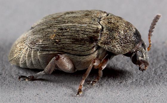 Utah-bean weevil - Bruchidius terrenus