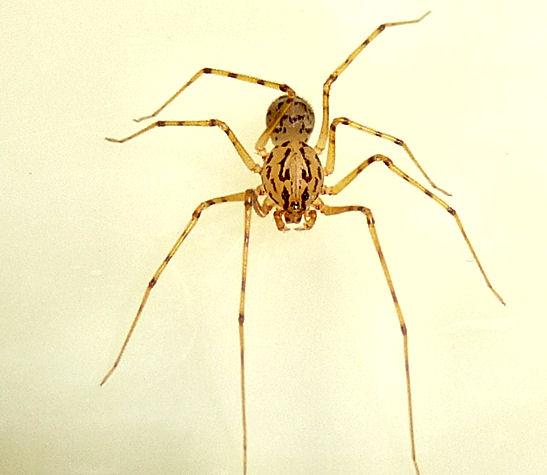 Spitting spider - Scytodes thoracica - male