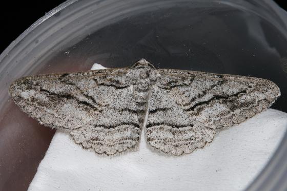 Stenoporpia excelsaria - male