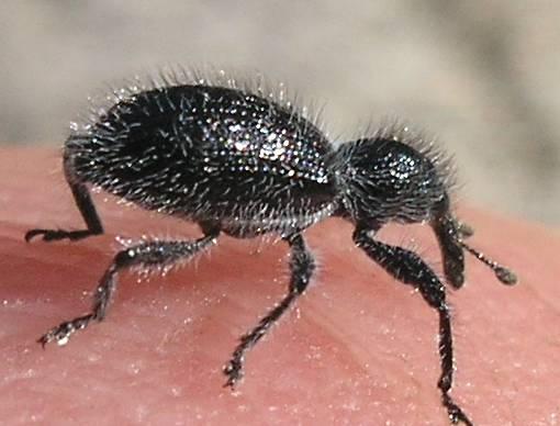 Snout Beetle - Myrmex scrobicollis