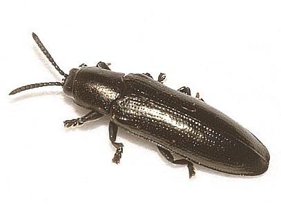 Possible S. metallica - Stenispa metallica