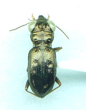 Notiophilus aeneus