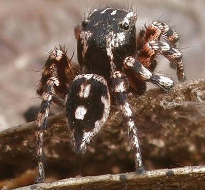 Jumping Spider - Habronattus fallax - male