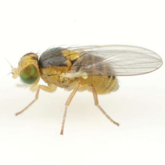 Liriomyza ivorcutleri - male