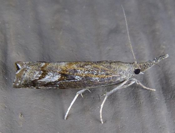 Mottled Grass-veneer - Neodactria