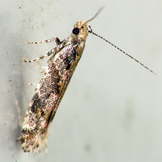 Micromoth - Aristotelia rubidella