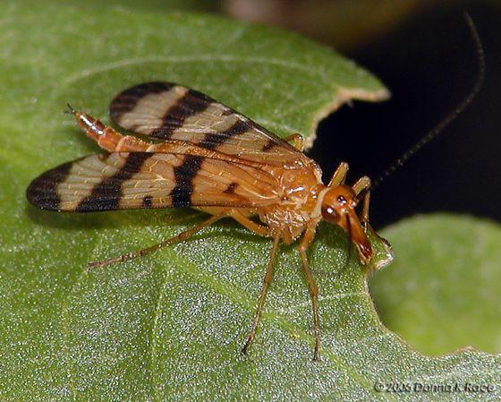 Scorpion Fly - Panorpa helena - female
