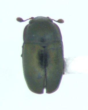 Sap beetle - Brassicogethes simplipes