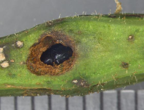 Curculionidae - Virginia creeper, adult in gall - Ampeloglypter ampelopsis