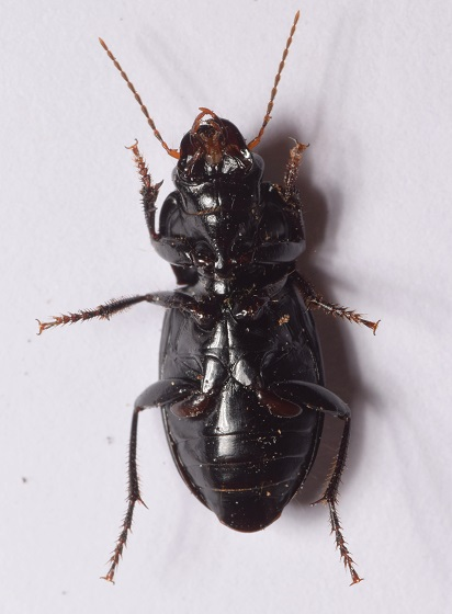 Ground Beetle - Anisodactylus