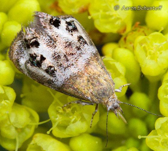 Unknown Moth - Tebenna gemmalis