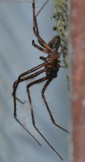 Spider - Pimoa - male