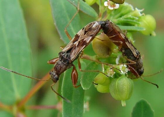 Seed Bug - Neopamera bilobata - male - female