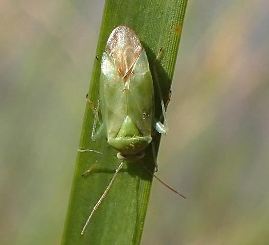Taylorilygus apicalis   - Taylorilygus apicalis